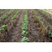 Conservation Tillage, Cover Crops BMPs for Cotton