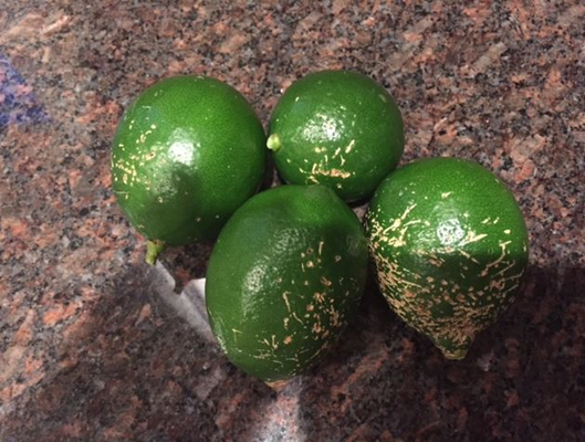 Picture of citrus fruit damaged by birds.