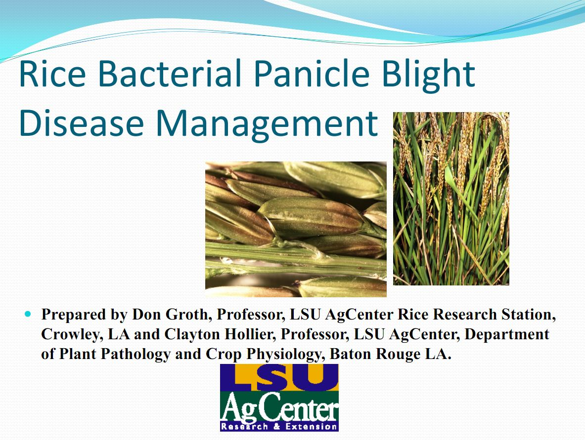Rice Bacterial Panicle Blight Management 2012