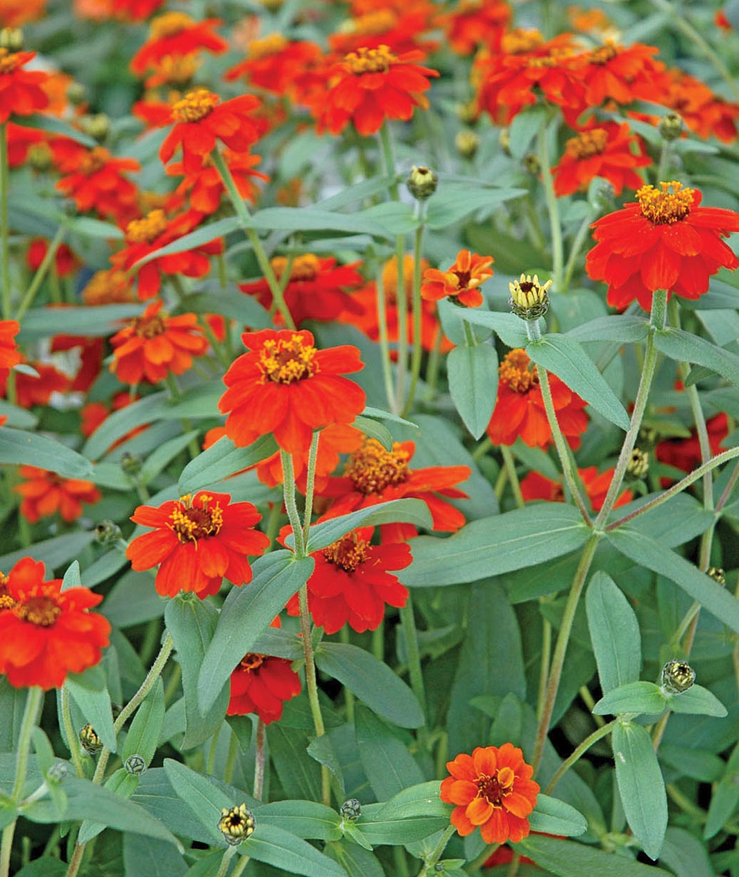 Bed of Profusion Zinnias