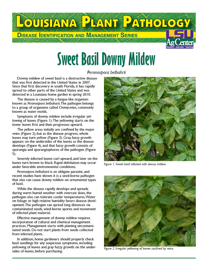 Louisiana Plant Pathology: Sweet Basil Downy Mildew
