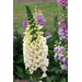 Camelot Foxglove – Ornamental Plant of the Week for November 25, 2013