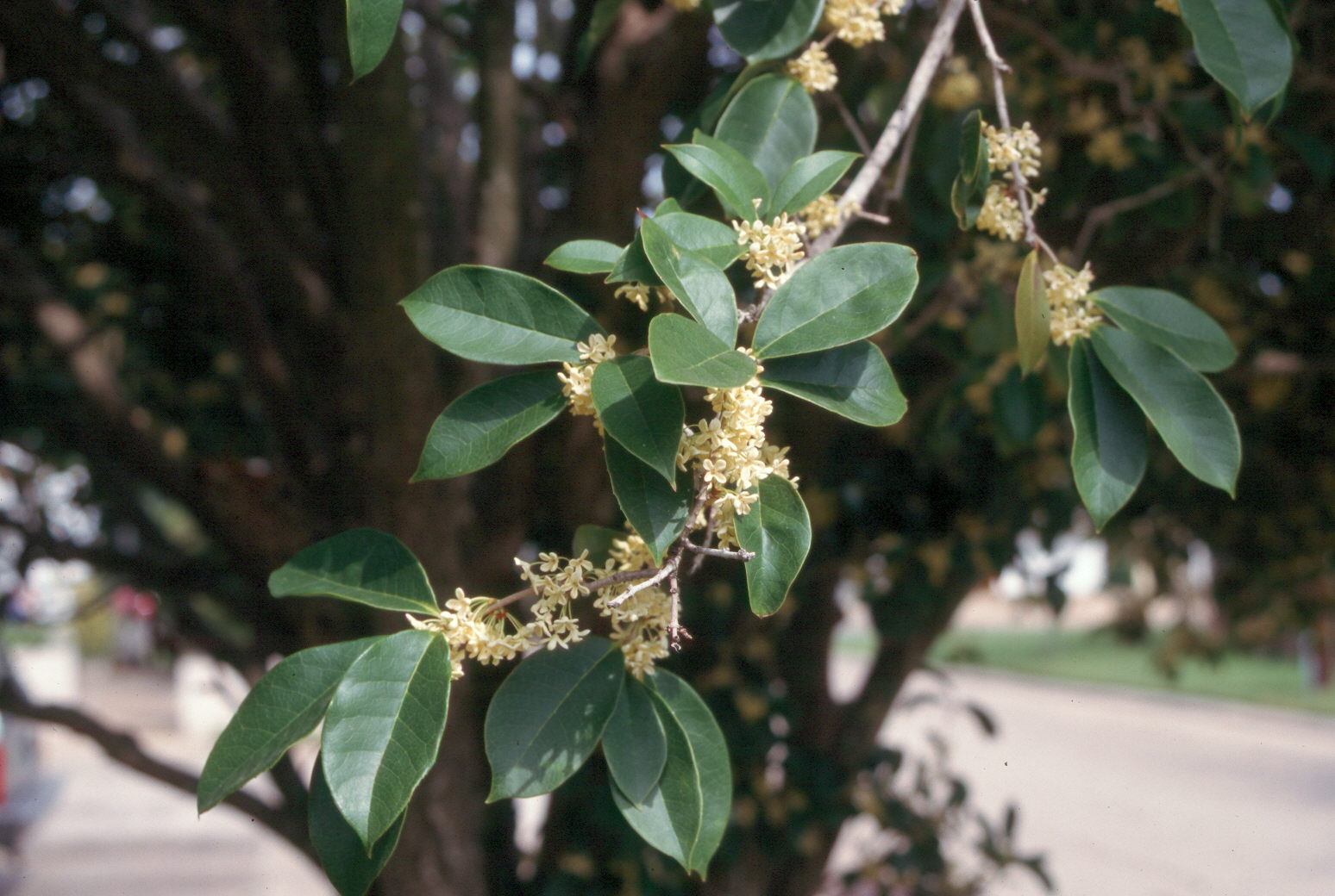 Osmanthus fragrans flower.jpg thumbnail
