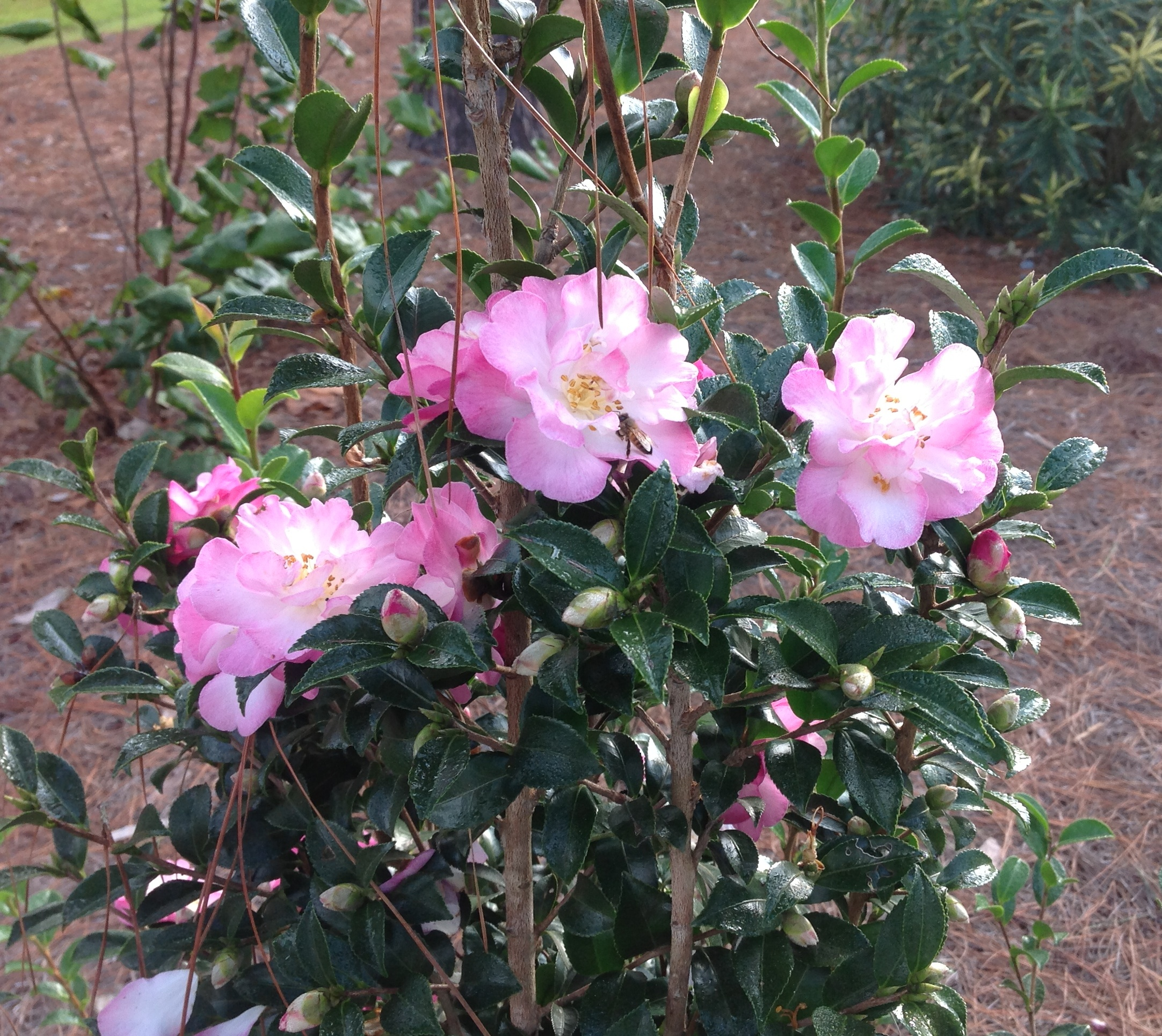 October Magic Series Camellia – Ornamental Plant of Week for December 2, 2013