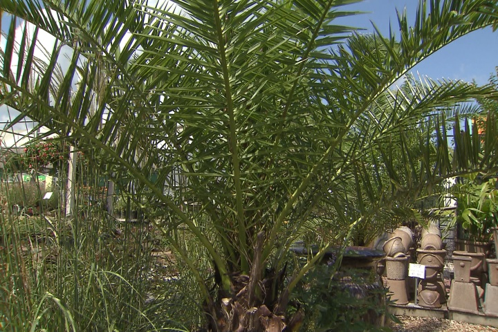 Still time to plant palms