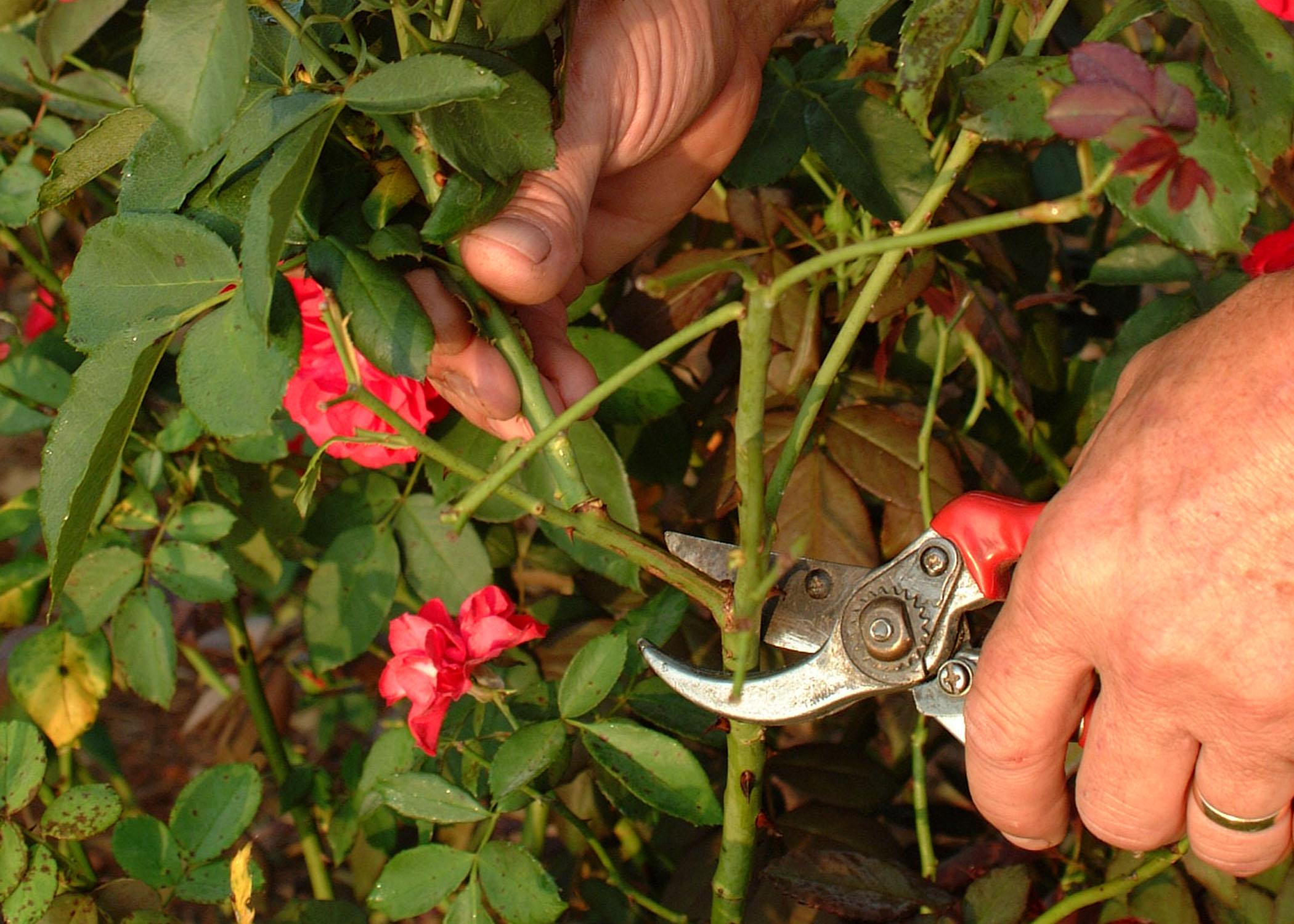 How to trim a rose bush - Rose Pruning 05 Jpg Thumbnail