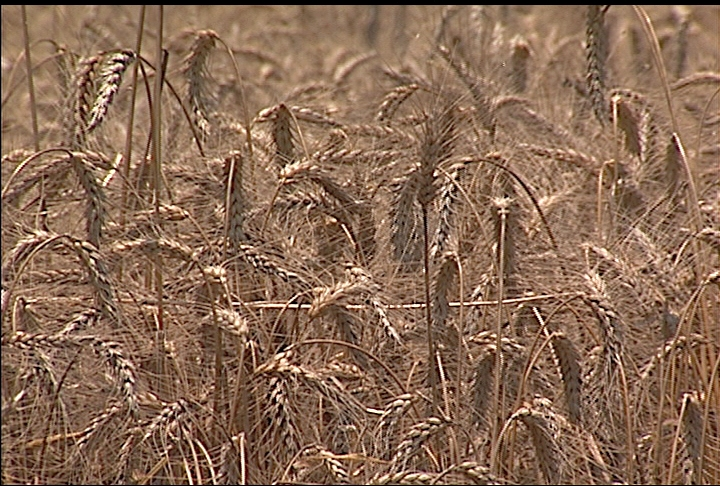 Wheat crop produces fewer bushels than desirable