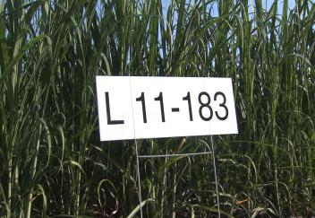 New sugarcane variety released in Louisiana