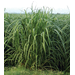 Louisiana Sugarcane Variety Identification Guide 2020: L 99-226