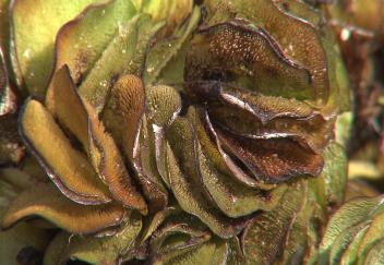 Researchers use weevils to control salvinia