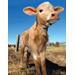 Calf to Carcass Program makes Louisiana cattle production more profitable
