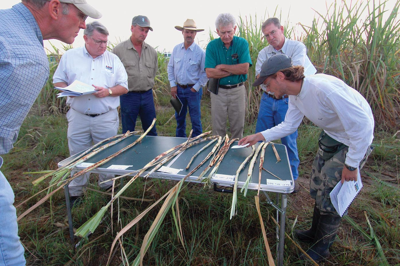 Mexican rice borer more dangerous to La. sugarcane than rice