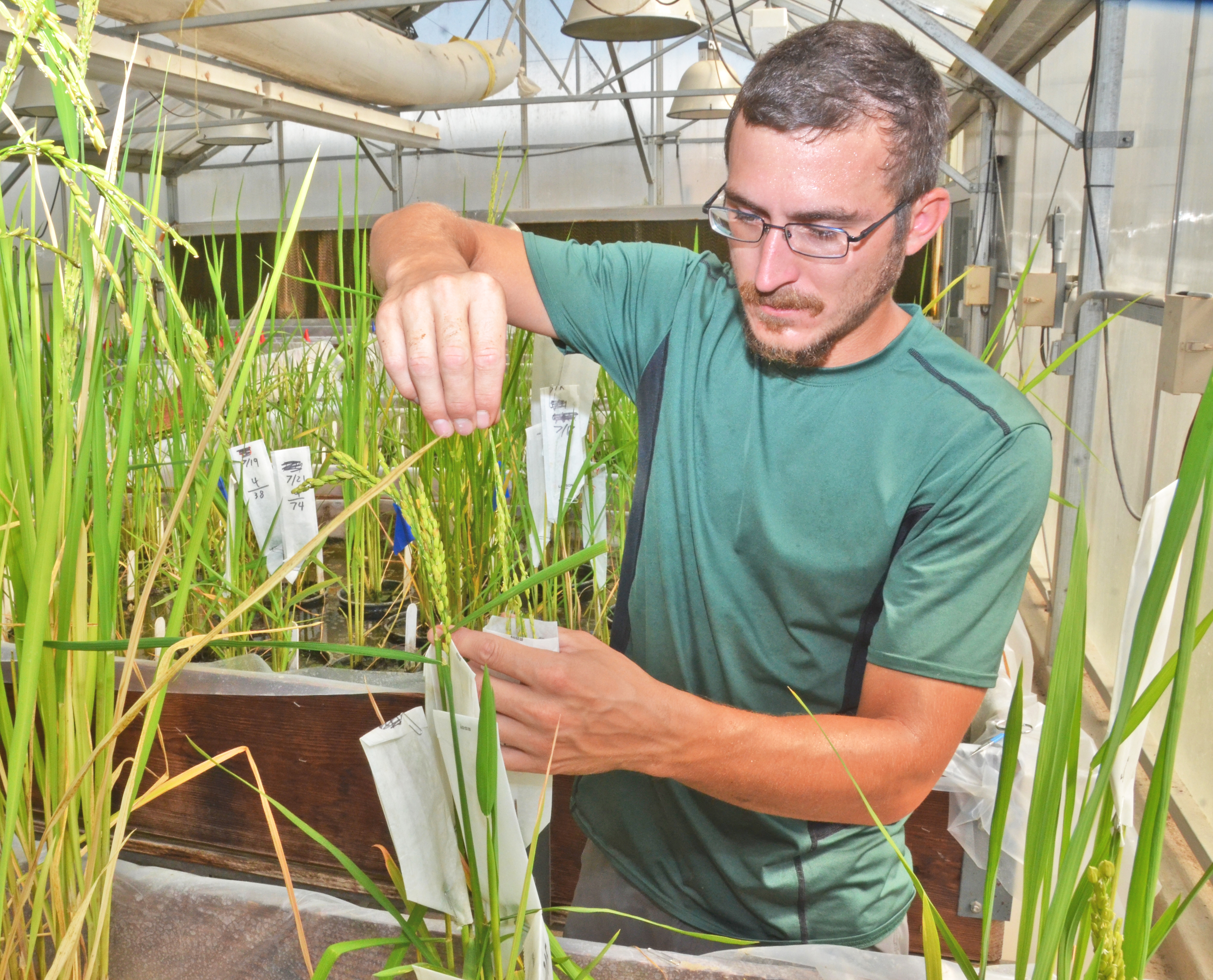 Hybrid rice work shows promise