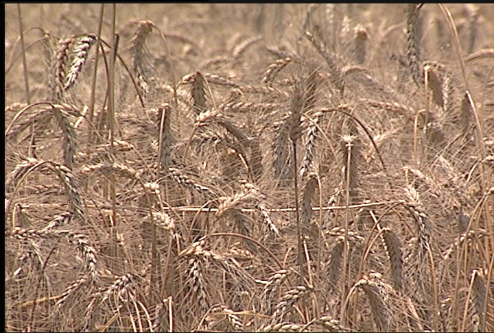Wheat acreage up across Louisiana
