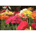 Vibrant gerbera daisies brighten dreary days