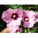 Aphrodite Althea (Rose of Sharon) – Ornamental Plant of the Week for May 26, 2014