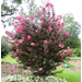 Delta Jazz crape myrtle – Ornamental Plant of the Week for August 4, 2014