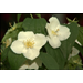 Philadelphus shrubs shoud be more popular