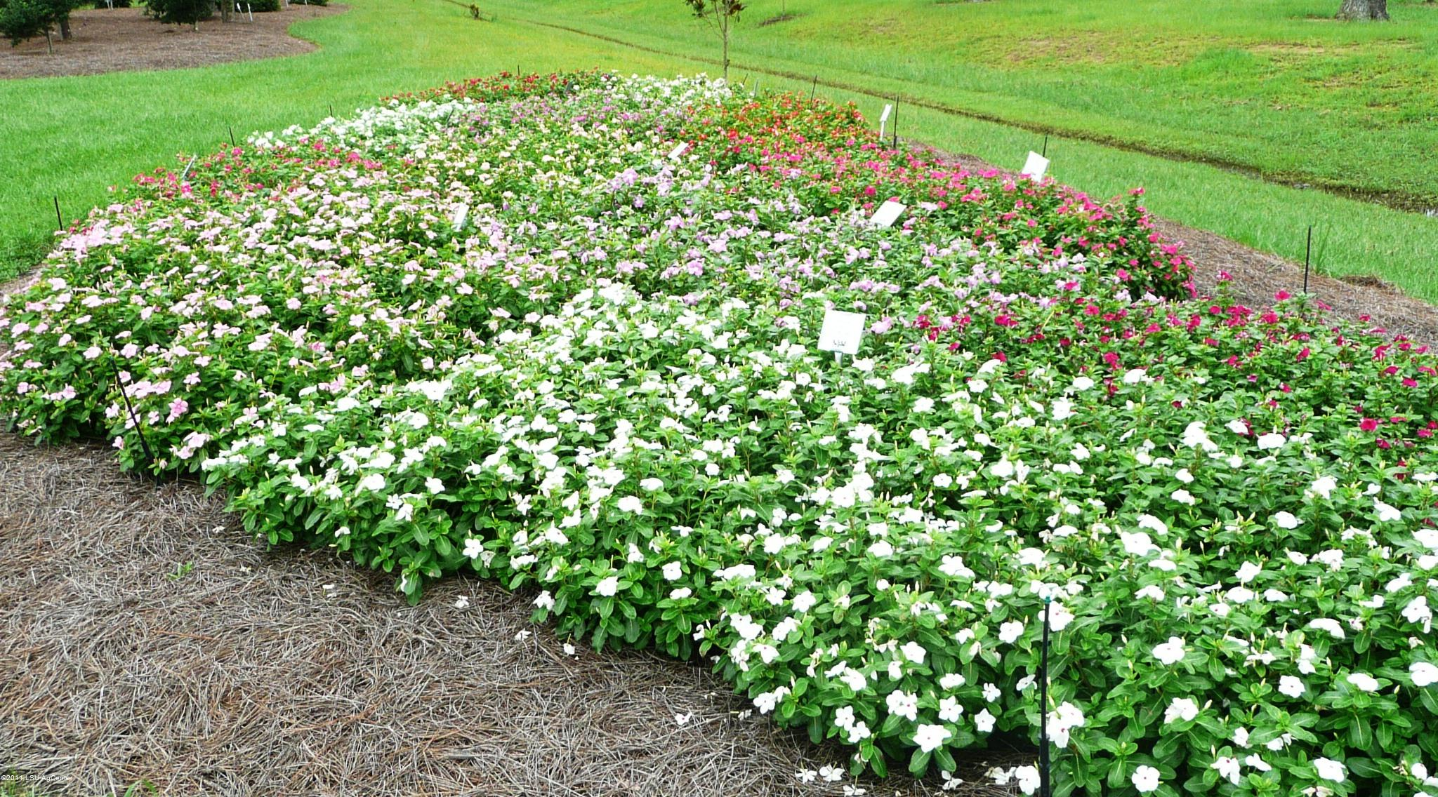 Popular vincas vary greatly in landscape performance