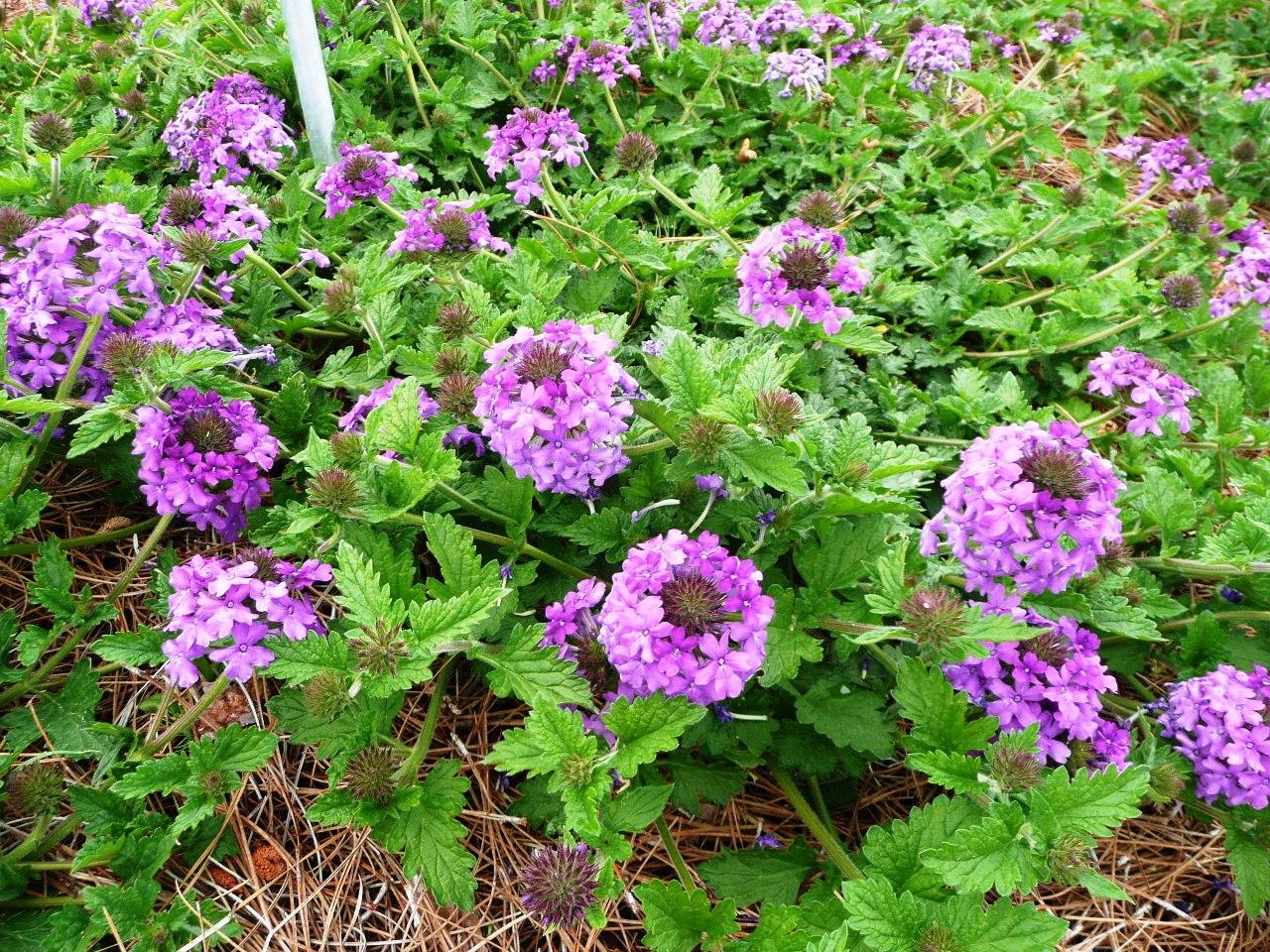 Fall is great for perennial verbenas especially the Louisiana Super Plant Homestead Purple