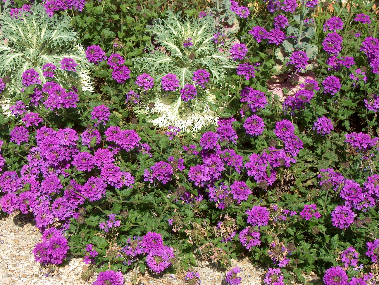 Homestead Purple verbena with kale