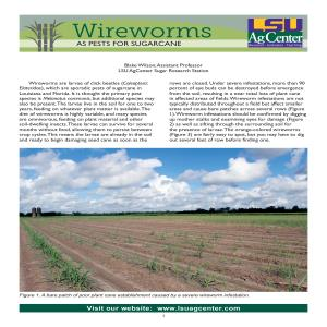 Wireworms as Pests for Sugarcane