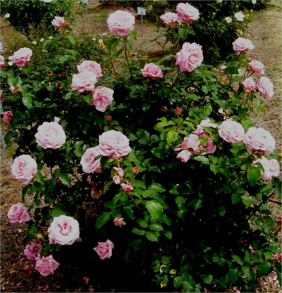 Belindas Dream named Gulf District Rose of the Year