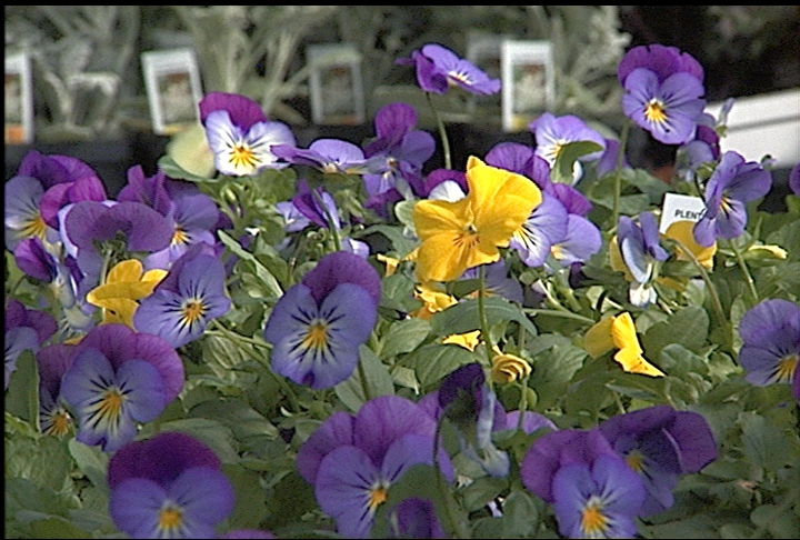 New Plentifall  pansy is economical choice