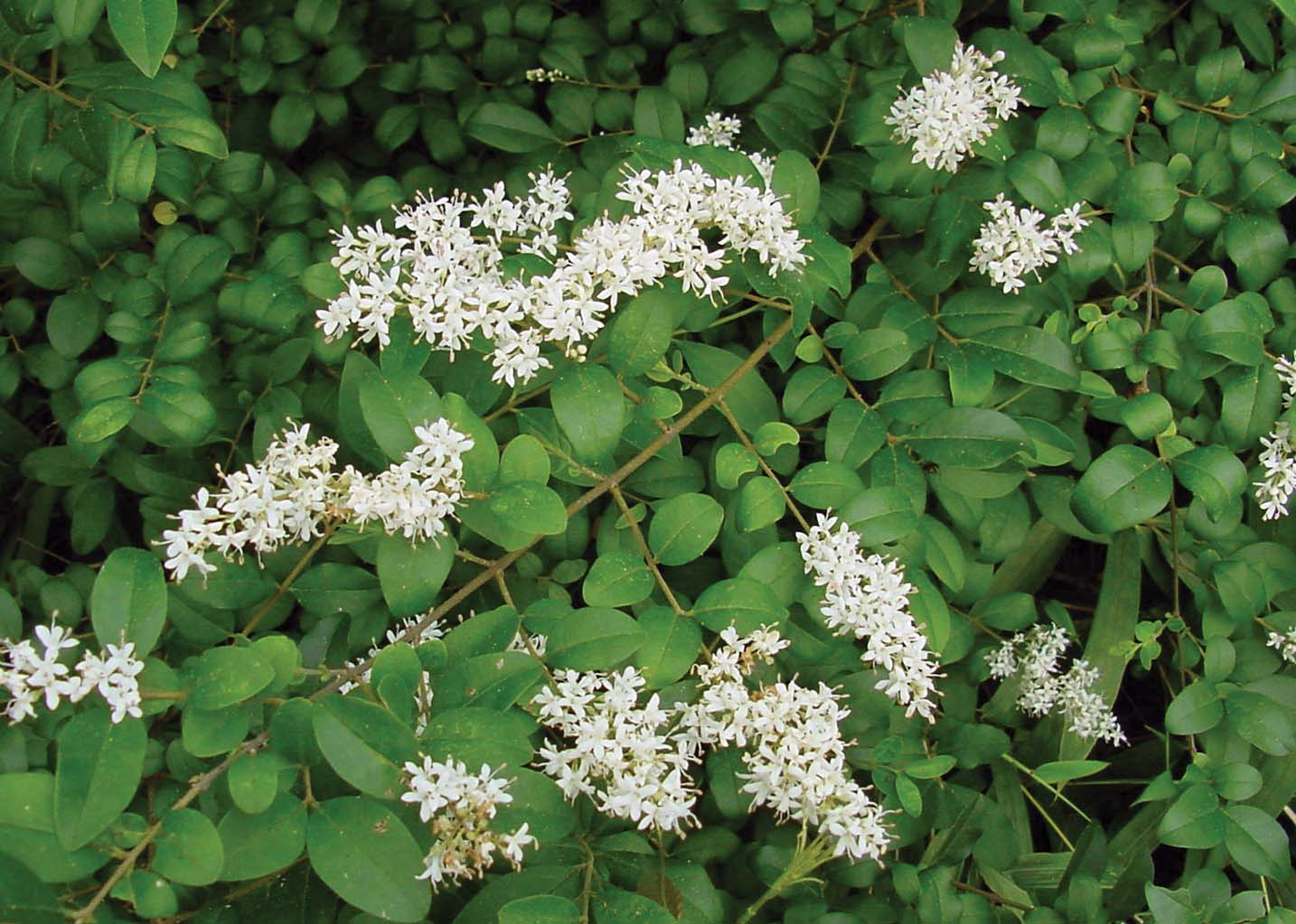 Chinese Privet: A Biological Invader in Louisiana's Forests