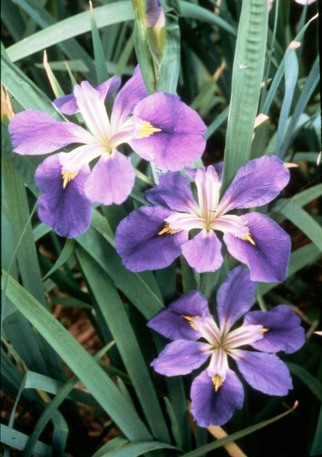 Native irises carry Louisiana name worldwide