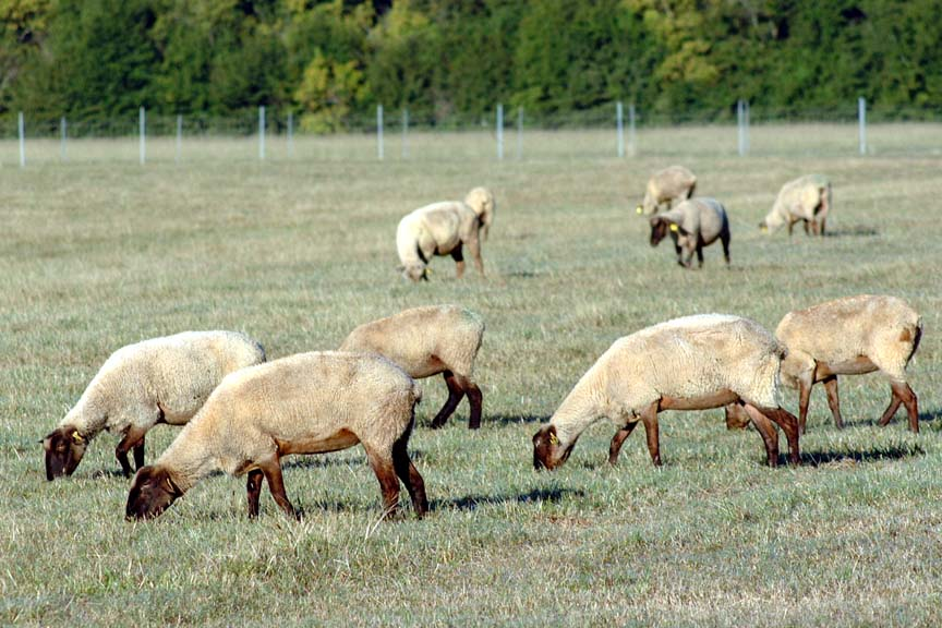 Parasite Control in Sheep and Goats
