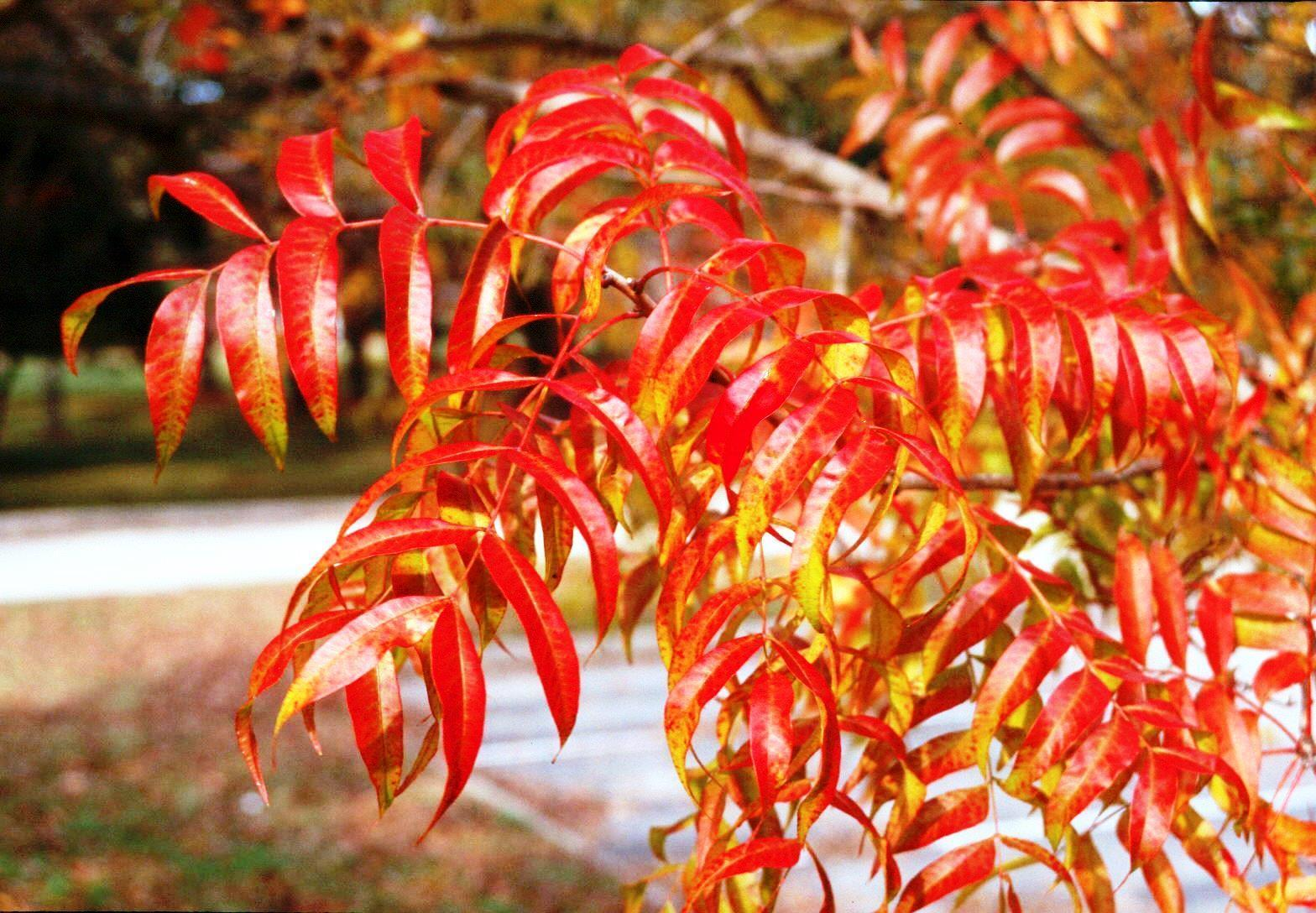 Chinese Pistache – Ornamental Plant of the Week for October 5 2015