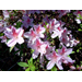 Azaleas - Louisianas Most Popular Landscape Shrub