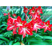 Holiday amaryllis makes great landscape plant, too