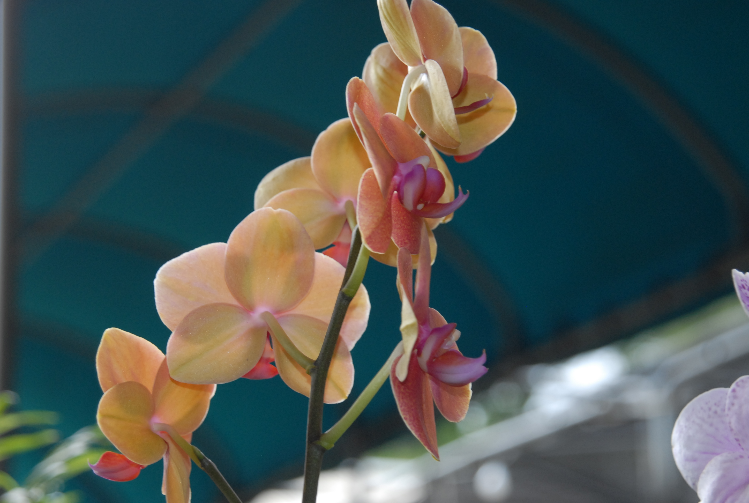 Growing moth orchids is not difficult