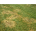Large Brown Patch In Lawn