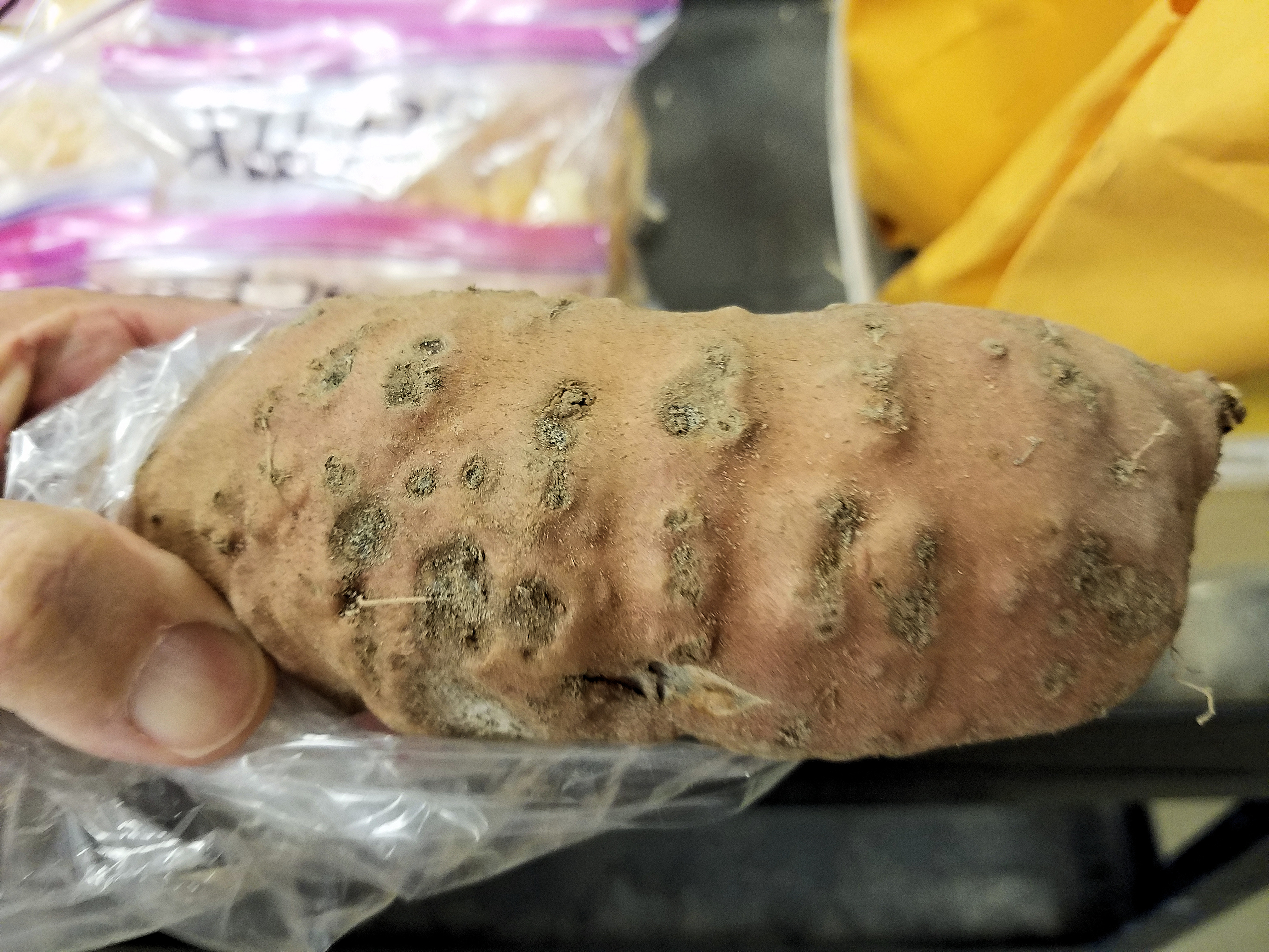 New nematode could threaten Louisiana sweet potato crop