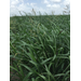 Problematic Louisiana Sugarcane Weed Images