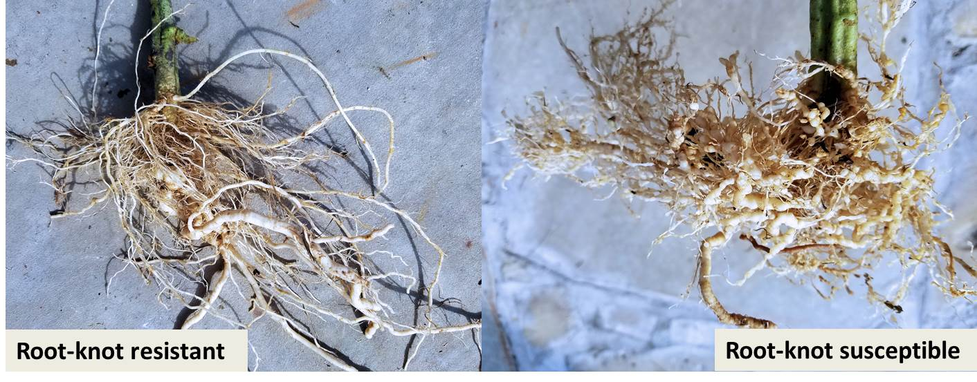 Using resistance in the garden to manage Southern root-knot nematode