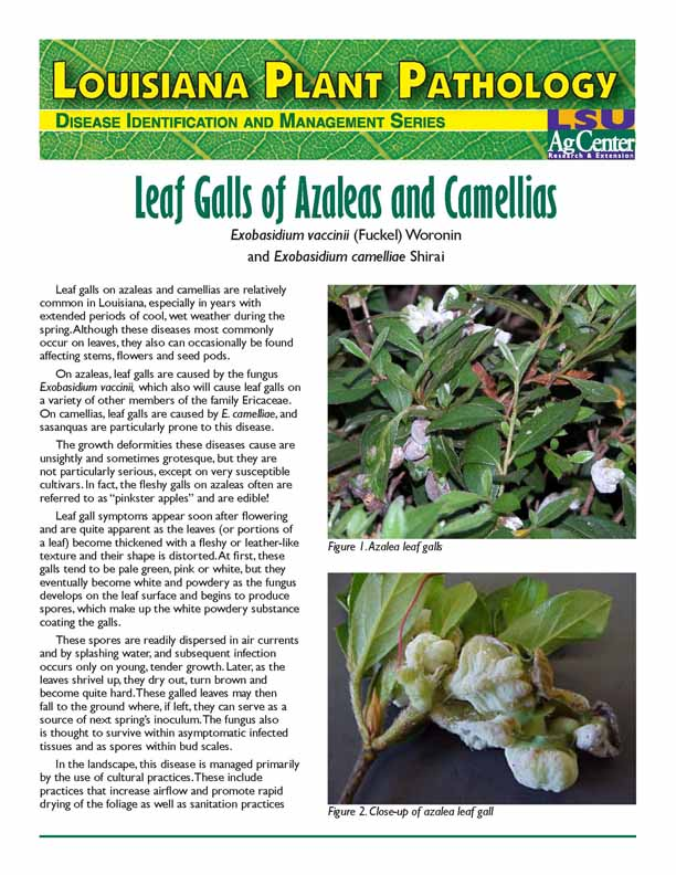 Louisiana Plant Pathology:  Leaf Galls of Azaleas and Camellias