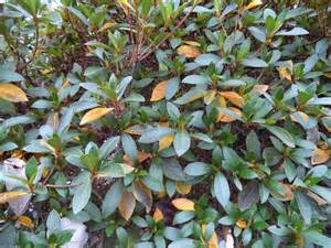 Yellow Azalea leaves.jpg thumbnail