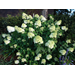 Limelight Hydrangea – Ornamental Plant of the Week for July 6, 2015