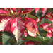Make your Christmas poinsettias last into the New Year