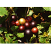 Take Advantage of Modern Muscadine Varieties