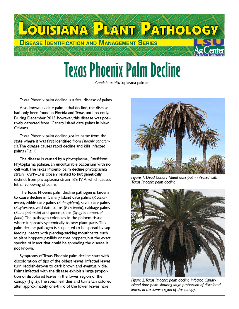 Louisiana Plant Pathology:  Texas Phoenix Palm Decline