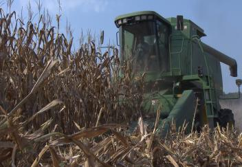 Louisiana corn crop shows promising yield