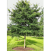 Willow oak - Deciduous shade tree