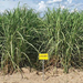 Louisiana Sugarcane Variety Identification Guide 2020: L 12-201