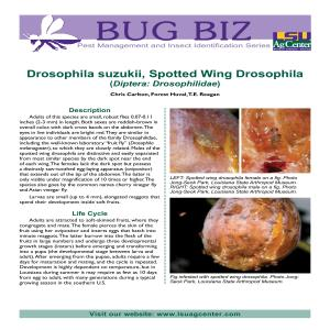 Drosophila suzukii, Spotted Wing Drosophila (Diptera: Drosophilidae)