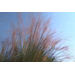 Pink muhly grass adds grace and color to landscapes